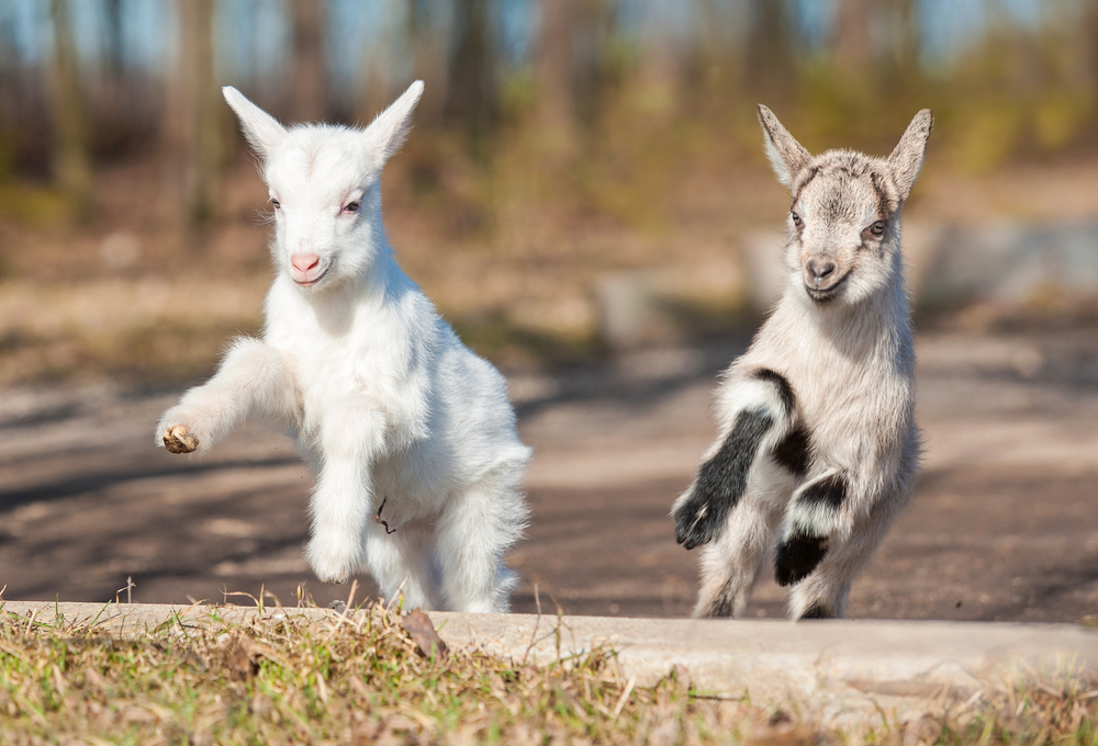 The rise of goat yoga: gimmick or genius?